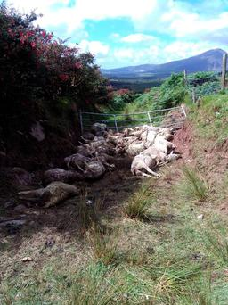 The lambs and ewe belonging to a farmer in Annascaul, Co Kerry were pursued by a pack of dogs and attacked