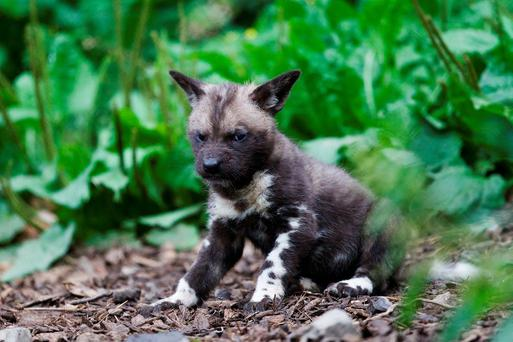 One of the seven new African painted dogs plays in his enclosure. Photo: Patrick Bolger