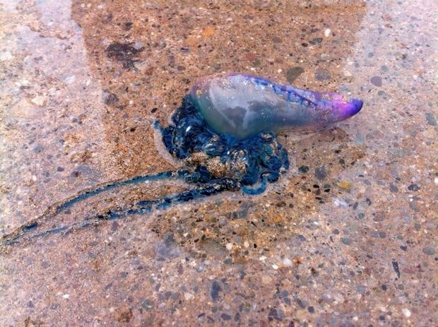 A Portuguese man o'war jellyfish that was found on the beach at Ballybunnion, Co Kerry