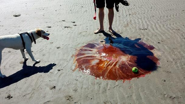 Lion's Mane jellyfish found at Templetown Beach, Co Louth