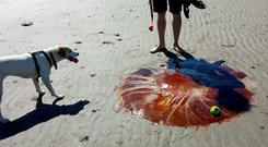 Lion's Mane jellyfish found at Templetown Beach, Co Louth in 2016