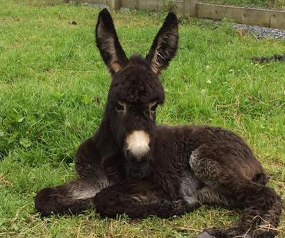 Little Timmy was born with lax tendons. Photo: Donegal Donkey Sanctuary