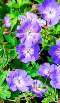 MODERN: Rozanne is a superb variety of the geranium