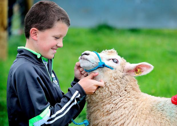 Jack Greaney (11), from Headford, Co Galway, with a ewe at the Tullamore Show. Pic Steve Humphreys