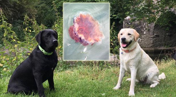 Two dogs had severe anaphylactic reactions after coming into contact with a Lion's Mane jellyfish