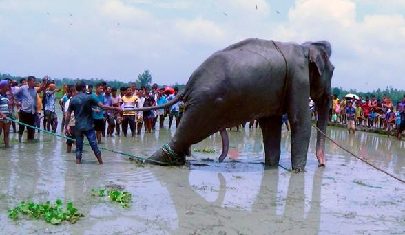 Bangladeshi villagers gather as wildlife experts attend to a fully grown Indian elephant that washed up in a swamp after being caught up in raging floodwaters in Jamalpur district, some 150 kilometers (94 miles) north of Dhaka, Bangladesh (AP Photo)