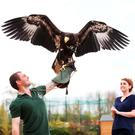 Tayto Park ranger Dominic King with Brutus the Steller's Sea Eagle. Photo: Leon Farrell