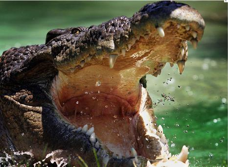 The crocodiles were in poor physical condition.