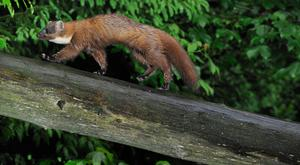 Pine marten running over fallen tree trunk in forest. (Photo by: Arterra/UIG via Getty Images)