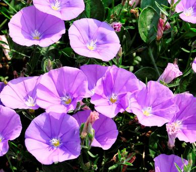 PRETTY: Blue bindweed makes a superb conservatory plant