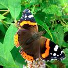 BEAUTIFUL: The picture of a Red Admiral butterfly sent in by a reader