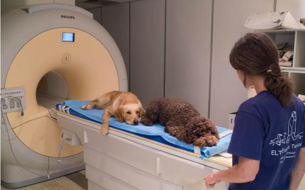 The researchers trained 13 dogs to lie motionless in an MRI scanner so their brains could be monitored
