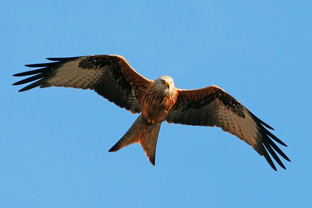An adult red kite in flight; Three new chicks have now been confirmed to have fledged in the Fingal area