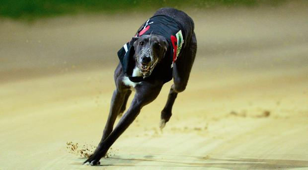 Last year's winner Ballymac Matt also survived the semi-final and is now one big run away from becoming only the third greyhound ever to win the Derby on two occasions. Stock photo: Sportsfile