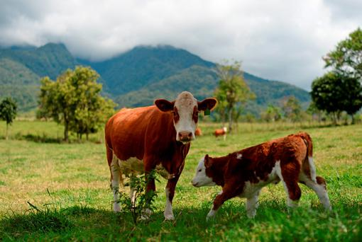 A cow and a calf stand in a pasture at a farm in Mengatas, West Sumatra, Indonesia. Indonesia plans to produce 460,000 tons of meat in 2016. Photo: Dimas Ardian/Bloomberg