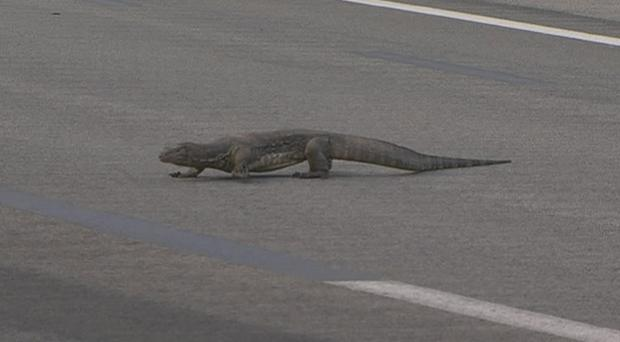 The lizard makes a break for it across the track.