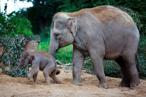 Proud mum Asha is seen with her new female Asian elephant calf, who was born in Dublin Zoo on Monday. Photo: Patrick Bolger