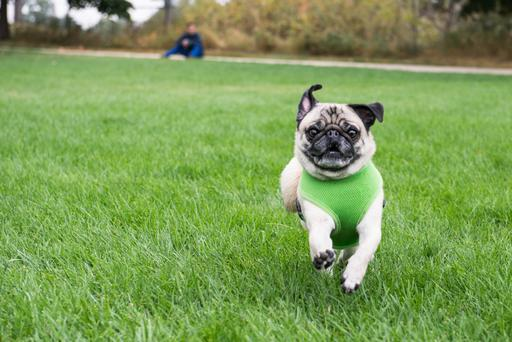 Many pugs suffer from severe breathing difficulties