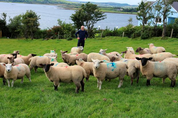 Michael Duffy with a group of lambs drafted for slaughter at ICM Navan
