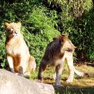 Lions Majo and Motshegetsi have escaped from their enclosure at Leipzig Zoo