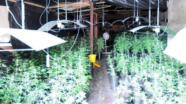 Cannabis plants in the growhouse at Holyford, Tipperary