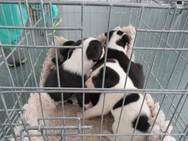 Five puppies discovered in a coal bag and left to die. Picture: ISPCA.