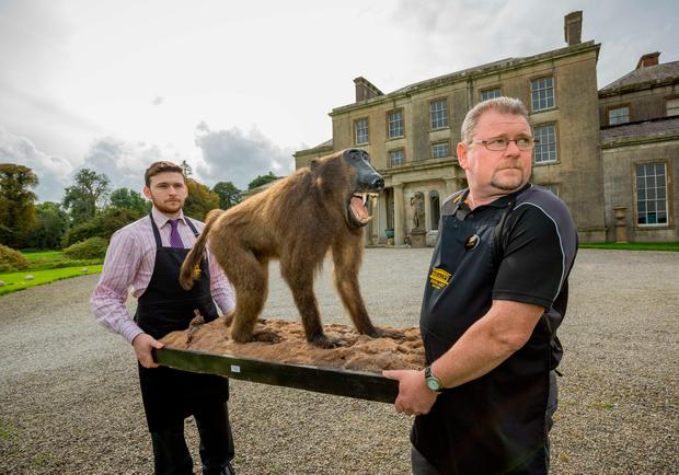 Joe and PJ Collins of Mealy's Fine Art Auctioneers, pictured with a Victorian Taxidermy Baboon. Picture Dylan Vaughan.