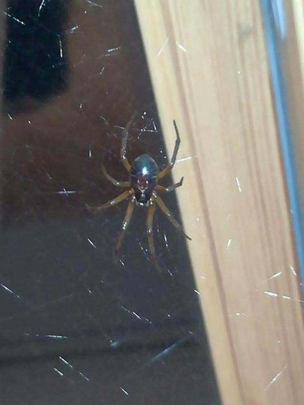 The large false widow spider found in Co. Kilkenny