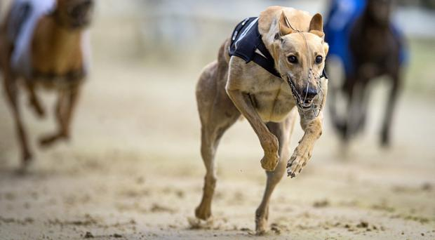 Priceless Brandy and kennel companion Jaytee Dutch had been fastest in the first round but they were drawn together in a red-hot fifth heat. (Stock photo)