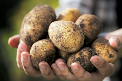 Farmer holding harvested dirty potatoes in his hands. Very short depth-of-field.