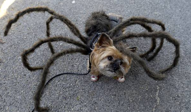 This dog in a spider costume is winning Halloween. AFP PHOTO / TIMOTHY CLARY/ & Gallery: 27 times pets were better than you at Halloween ...