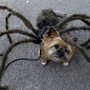 This dog in a spider costume is winning Halloween. AFP PHOTO / TIMOTHY CLARY/Getty Images