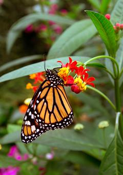 King: A Monarch at Straffan Butterfly Farm Photo: Tony Gavin