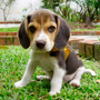 Mission of mercy: Some 350 Beagle and mixed-breed dogs and 253 cats will be removed from the Glenamoy lab by the ISPCA
