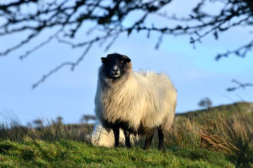 There are no magic bullets and it takes commitment from both the vet and the farmer to solve sheep lameness issues