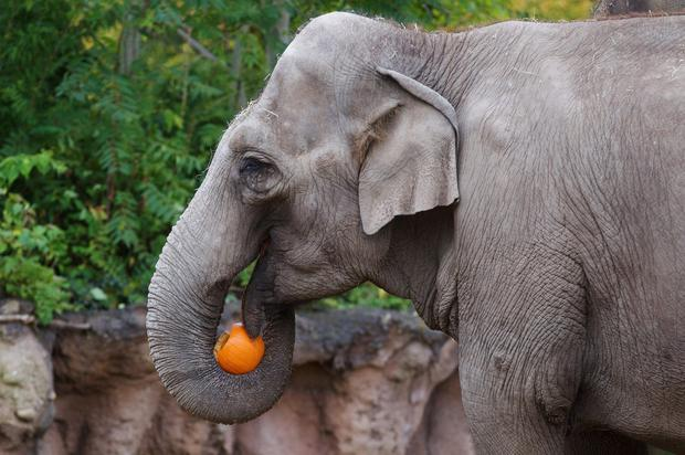 Rhinos play with pumpkins at Dublin Zoo