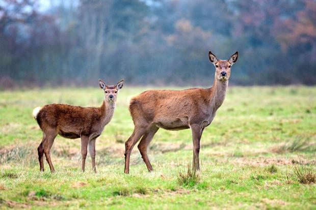 The Department is also expected to introduce fencing to control deer in Wicklow.