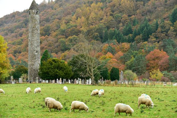 Sheep grazing last week beside the round tower and graveyard at Glendalough, Co Wicklow. Photo Roger Jones