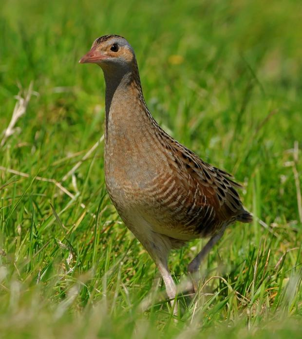 The distribution of several farmland birds, including the corncrake, is