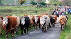 Farmers move their cattle from the lowlands and valleys of Noughval, Co Clare, up to their traditional winter grazing grounds on the Burren's limestone uplands