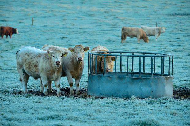 Cattle pictured feeding in the dawn frost in Co Carlow recently. Photo Roger Jones