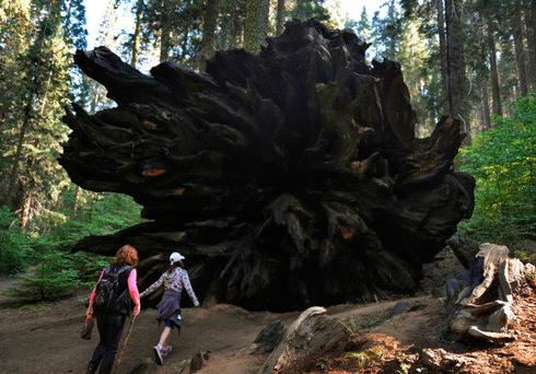 A family looks at the base of a Giant Sequoia tree that lies toppled in the Sequoia National Park in Central California on October 10, 2009. AFP PHOTO/Mark RALSTON