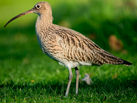 Endangered: Curlews have been robbed of their habitat in meadows and bogs, with their nests attacked by crows and foxes Photo: Abi Warner