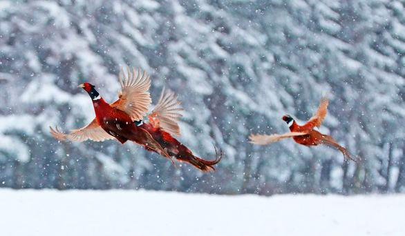 The UK has had cold weather for the past week, as this photo of pheasants taken near Hamsterley Forest in a snow-covered Co Durham shows. Photo: Owen Humphreys/PA Wire