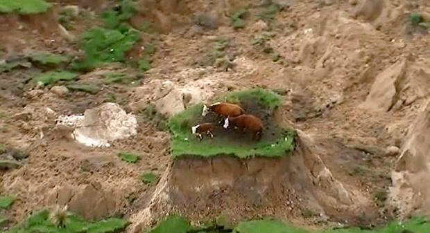 Three cows are stranded on an island of grass in a paddock that had been ripped apart following an earthquake near Kaikoura, New Zealand