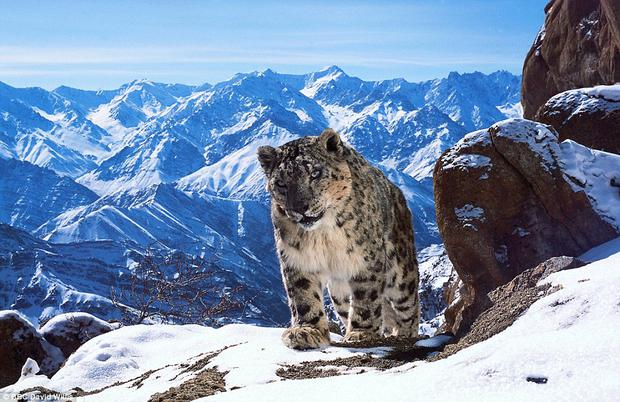 Sunday night's Planet Earth captured the first ever recorded sighting of snow leopards mating in the wild.