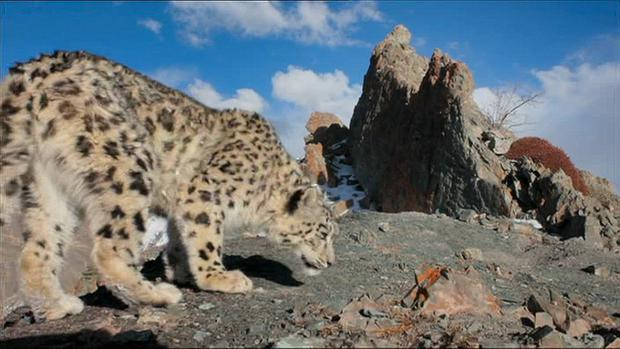 The male snow leopard is drawn to the scent of the female in heat