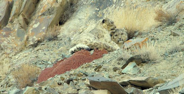 Of all the animals the team filmed, the fabled snow leopard was the most elusive