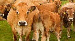 An Aubrac herd is ideally suited to a social farming setting, says Michael Heslin