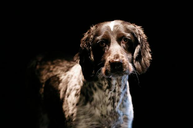 A new Dogs Trust campaign is highlighting the plight of mums living in poor conditions on puppy farms, like this rescued springer spaniel. Photo: ©Fran Veale